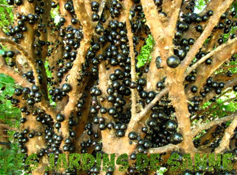 Jaboticaba Tree Info - How To Grow Jaboticaba Fruit Trees